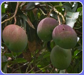Mangos grow in abundance around our Maui vacation properties. When in season these are a local Maui treat. Try freezing them after slicing and your kids will have a healthy refreshing snack during your Maui beach vacation! Stay in one of our Maui vacation rental units.